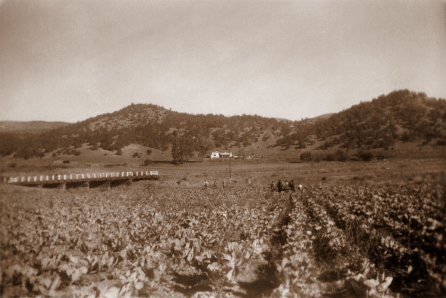 1945-09 Cabbage fields on the Harland farm