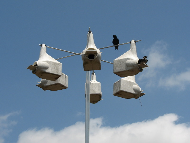 Purple martins on guard